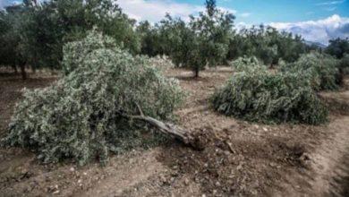 Photo of باز هم تبر تروریسم ترکیه به جان درختان عفرین افتاد